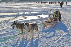 Dog sled on the ice in Luleå Royalty Free Stock Photography