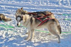 Dog sled on the ice in Luleå Stock Photography