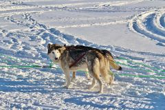 Dog sled on the ice in Luleå Royalty Free Stock Image