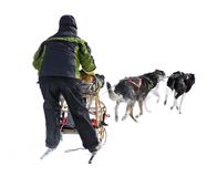 Dog Sled Musher and Dog Team Against White Stock Photos