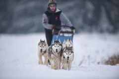Dog sled race competition stock photography