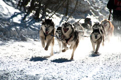 Dog Sled Race. Dogs in a dog sled race running fast and furious Royalty Free Stock Photos