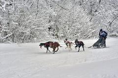 Dog-sled race. Stock Photo