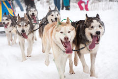 Dog sled race with Husky dogs Royalty Free Stock Images