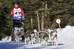 Dog sled race Stock Photo