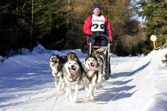 Dog sled race Stock Image