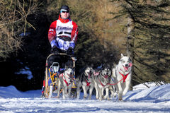 Dog sled race Royalty Free Stock Photography