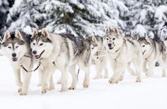 Dog Sled Race With Huskies Stock Photography