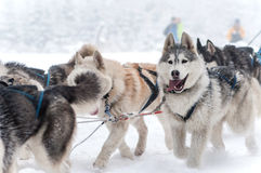 Dog sled racing with huskies Royalty Free Stock Images