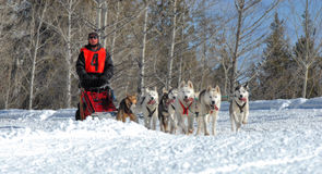 Dog Sled racing in the mountains. Dog sled team racing on a beautiful sunny winter day in the mountains Stock Image