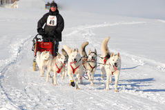 Dog Sled racing Team. Dog Sled racing in the Great American Dog Derby Royalty Free Stock Photography