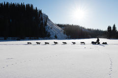 Dog sled racing in Yukon Quest. Dog team pulling sled with musher, contender in Yukon Quest 1,000 Mile International Sled Dog Race in beautiful Yukon Territory Royalty Free Stock Photo