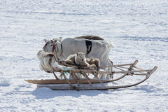 The dog in the sled and reindeer on snow background Royalty Free Stock Photos