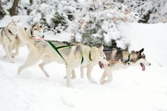 Dog sled Royalty Free Stock Images