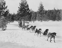 DOG SLED TEAM. (All persons depicted are no longer living and no estate exists. Supplier grants that there will be no model release issues Royalty Free Stock Photography