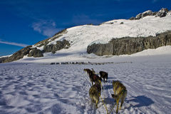 Dog sled team out in the snow. Dog power has been used for hunting and travel for over a thousand years. As far back as the 10th century these dogs have Royalty Free Stock Images