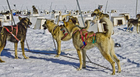 Dog sled team. Dog power has been used for hunting and travel for over a thousand years. As far back as the 10th century these dogs have contributed to human Royalty Free Stock Image