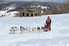 Dog Sled Team Racing. On a beautiful sunny winter day Royalty Free Stock Images