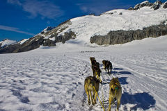 Dog sled team racing. Dog power has been used for hunting and travel for over a thousand years. As far back as the 10th century these dogs have contributed to Royalty Free Stock Photo