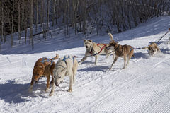 Dog Sled Team In Training Royalty Free Stock Photo
