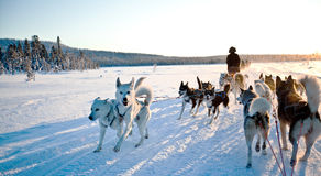 Dog Sledding Arkivfoto