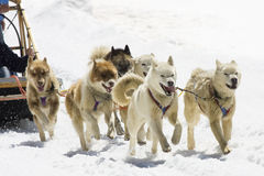 Dog-sledding Stock Photography
