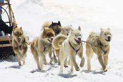 Dog-sledding. With Huskies in Swiss Alps, Switzerland Stock Photography