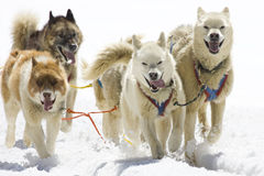 Dog-sledding. With Huskies in Swiss Alps, Switzerland Royalty Free Stock Photography