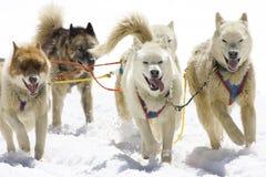 Dog-sledding. With Huskies in Swiss Alps, Switzerland Stock Images