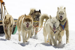 Dog sledding Royalty Free Stock Images