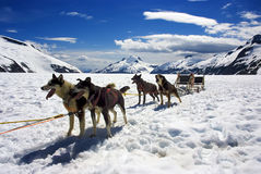 Dog sledding in Alaska. Nice weather Stock Photos