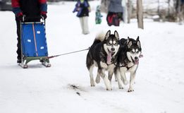 Sledding with alaskan malamute dogs in Romania. Dog-sledding with alaskan malamute in the wild Royalty Free Stock Photography