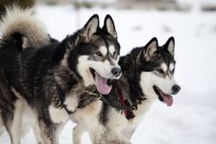 Sledding with alaskan malamute dogs in Romania. Dog-sledding with alaskan malamute in the wild Stock Photography