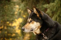 Dog for dog sledding in Denali NP in Alaska. Alaskan kennel dog, portrait of malamut dog in Alaska stock image
