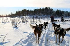 Dog Sledding on snow. Dog sledding from driver`s perspective. Dog sledding at Norway royalty free stock image