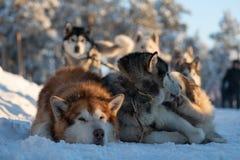 Dog sledding is a good entertainment for citizens of Yakutsk stock image