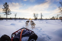 Dog sledding with huskies in beautiful sunset Stock Photo