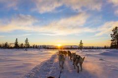 Dog sledding with huskies in beautiful sunset Stock Photos