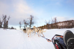 Dog sledding with huskies in the cold winter Stock Photo