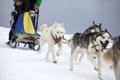 Sledding with husky dogs in Romania. Dog-sledding with huskies in the wild Royalty Free Stock Images