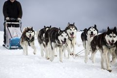 Sledding with husky dogs in Romania. Dog-sledding with huskies in the wild Stock Photos