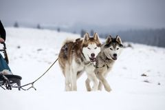 Sledding with husky dogs in Romania. Dog-sledding with huskies in the wild Royalty Free Stock Photo