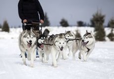Sledding with husky dogs in Romania. Dog-sledding with huskies in the wild Stock Image