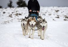 Sledding with husky dogs in Romania. Dog-sledding with huskies in the wild Stock Photography