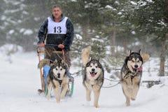 Dog sledding with husky Royalty Free Stock Photos