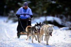Dog sledding with husky Royalty Free Stock Photo