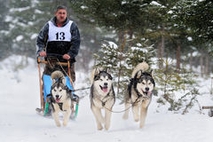 Dog sledding with husky Stock Image