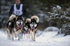 Dog sledding with husky. CIUMANI, ROMANIA - January 16: Dog sledding with husky on `International dog sled competition` January 10, 2016 in Ciumani, Romania Royalty Free Stock Photography