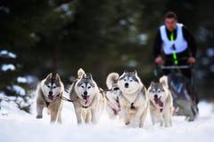 Dog sledding with husky on `International dog sled competition Stock Images