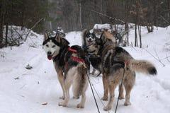 Free Dog Sledding In Canada Royalty Free Stock Photo - 76656115